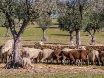 Flock of sheep feeding by the olive trees. Royalty Free Stock Photography