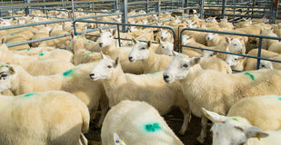 Flock of sheep in a corral. Flock of sheep in a fenced pen. They are ready for being transported. Green spot on their fleece Royalty Free Stock Images