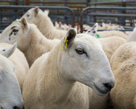 Flock of sheep in a corral. Flock of sheep in a fenced pen. They are ready for being transported. Green spot on their fleece stock photography
