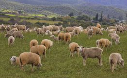 Flock of sheep in a field Stock Photography