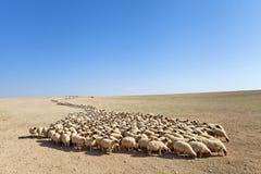 Flock of sheep Royalty Free Stock Photo