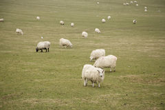 Flock of sheep on field Royalty Free Stock Image