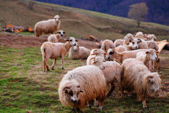 Flock of sheep in field Stock Image