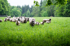 Flock of sheep in a field Royalty Free Stock Photo