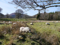 Flock of sheep in field Royalty Free Stock Images