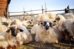 Flock of sheep on field Stock Images