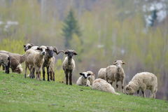 Flock of sheep on field in spring Royalty Free Stock Photos