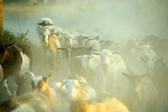Flock of sheep on field in summer Royalty Free Stock Photo