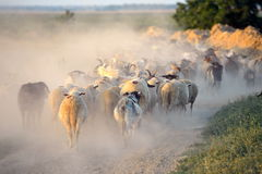 Flock of sheep on field in summer Royalty Free Stock Images