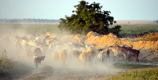 Flock of sheep on field in summer Royalty Free Stock Photos