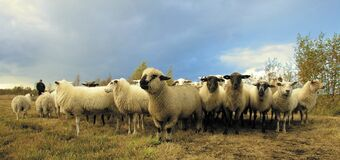 Flock of Sheep in Field Under Blue Sky Stock Photography