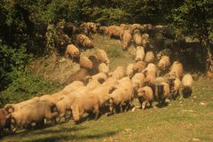 Flock of sheep. Coming down a mountain Royalty Free Stock Photography