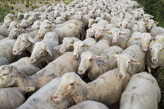 Flock of sheep. A flock of sheep following each other in a long row Stock Photo