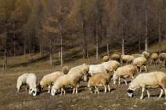 Flock of sheep in the forest Stock Photography