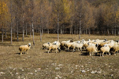 Flock of sheep in the forest Royalty Free Stock Image