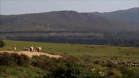 Flock of sheep stock video footage