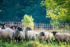 Flock of sheep gazing royalty free stock images