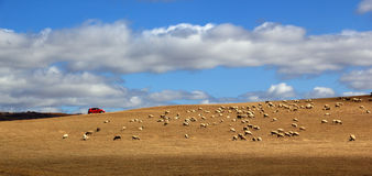 flock of sheep in Glassland in Inner Mongolia Stock Images