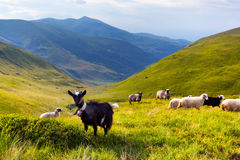 Flock of sheep and goat Royalty Free Stock Images