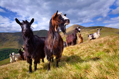 Flock of sheep and goat Stock Images