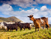 Flock of sheep and goat in the Carpathian mountains Stock Photo