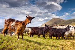 Flock of sheep and goat in the mountains Stock Image
