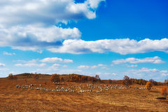 The flock of sheep or goats on the autumn meadows Stock Photography