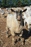 Flock of sheep and goats and grazing animals Stock Photography
