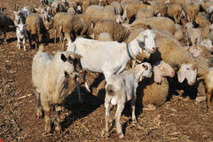 Flock of sheep and goats and grazing animals Stock Photos