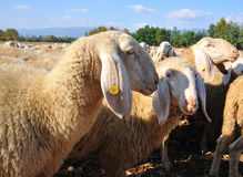 Flock of sheep and goats and grazing animals Royalty Free Stock Photo