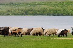 Flock of sheep and goats grazing Royalty Free Stock Image