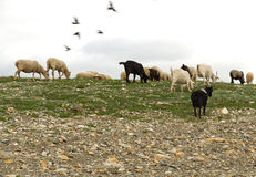 Flock sheep goats grazing Stock Image