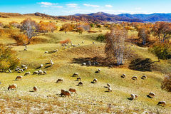 Flock of sheep or goats Stock Images