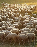 Flock of Sheep. Grass grazing herd of sheep in a meadow in the light of the setting sun Stock Photos