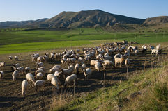 Flock of sheep and grassland Royalty Free Stock Image