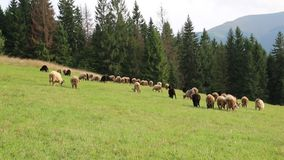 Flock of sheep on grassland stock footage