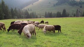 Flock of sheep on grassland in mountains stock video footage