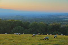 Flock of sheep graze at dusk. On the farmland in Somerset stock photography