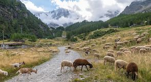 Contrast between traditional and modern activity of the ski facilities in the background. Macugnaga, Italy. Flock of sheep graze in the mountains, in the royalty free stock images