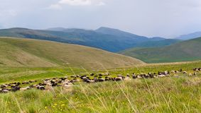Flock of sheep is grazed. On a pasture in mountains Royalty Free Stock Photos