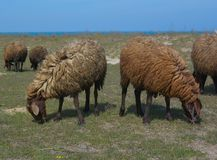 Flock of sheep is grazed on a meadow Stock Photo