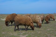 Flock of sheep is grazed on a meadow Royalty Free Stock Images