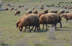 Flock of sheep is grazed on a meadow Royalty Free Stock Photo
