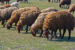Flock of sheep is grazed on a meadow Stock Image