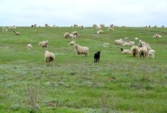 The flock of sheep is grazed in the spring steppe. Kalmykia.  Royalty Free Stock Photo