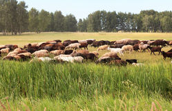 Flock of sheep grazes Royalty Free Stock Photos