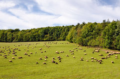 Flock of sheep grazes Stock Image