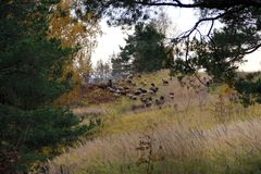 A flock of sheep grazes in the autumn hills the pine at the edges royalty free stock images