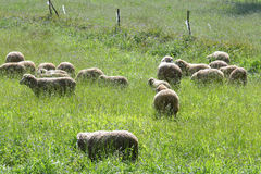 A flock of sheep grazes. On a green field royalty free stock photo