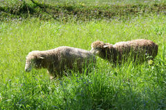 A flock of sheep grazes. On a green field stock photography